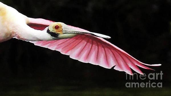 Photograph - Roseate Spoonbill In Flight by Jennifer Robin