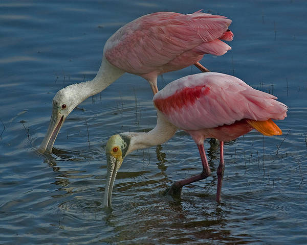 Photograph - Roseate Spoonbill Pair by Larry Linton