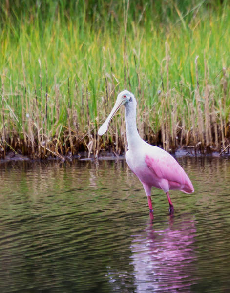 Photograph - Roseate Spoonbill  by Patricia Schaefer