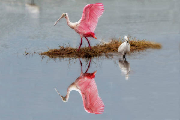 Photograph - Roseate Spoonbill Stretching Wings by Dan Friend