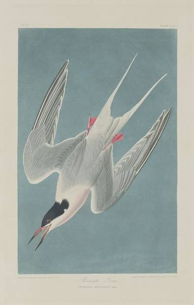 Wall Art - Drawing - Roseate Tern by Dreyer Wildlife Print Collections