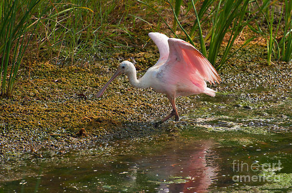 Photograph - Roseatte Spoonbill Wings by Photos By Cassandra