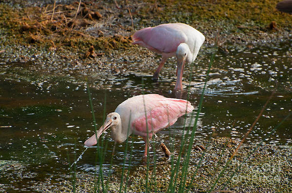 Photograph - Roseatte Spoonbills by Photos By Cassandra