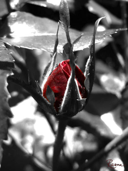 Photograph - Rosebud Red by Rasma Bertz