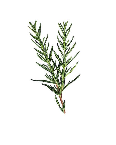 Rosemary Painting - Rosemary Herb by Angelina Ivanova