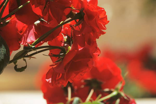Photograph - Roses 1 by Dimitry Papkov