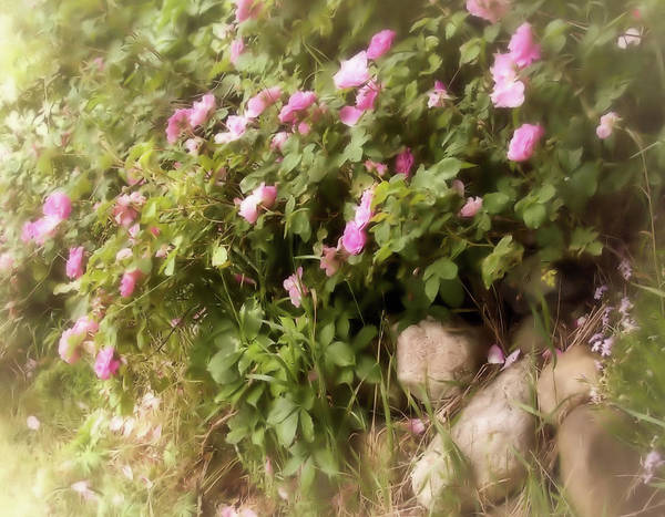 Photograph - Roses Along A Country Lane by Mary Wolf