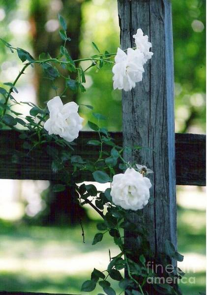 Photograph - Roses And Post by Charles Robinson