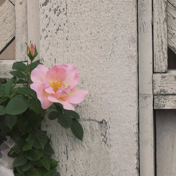 Photograph - Roses And Wood by Kim Hojnacki