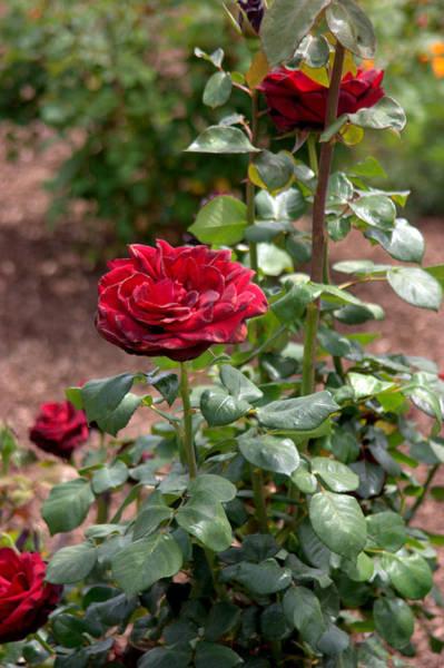 Photograph - Roses At Mission San Juan Capistrano by Brad Scott