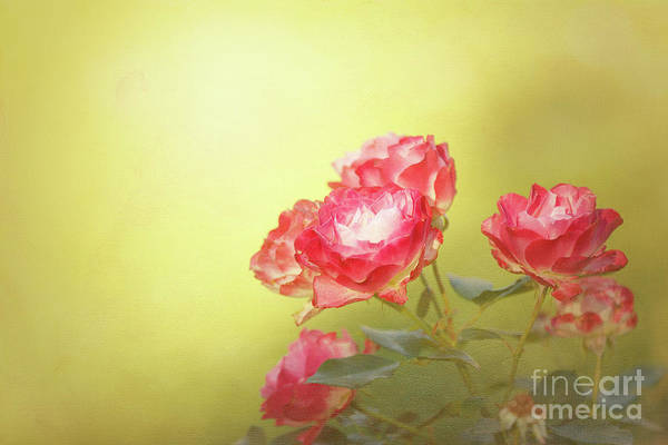 Photograph - Roses From The Garden by Beve Brown-Clark Photography
