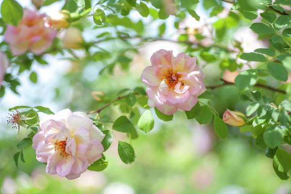 Photograph - Roses Fruhlingsduft by Jenny Rainbow