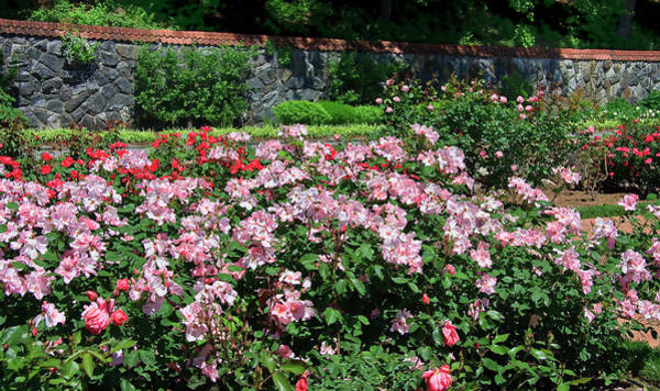 Photograph - Roses In A Garden by Jill Lang