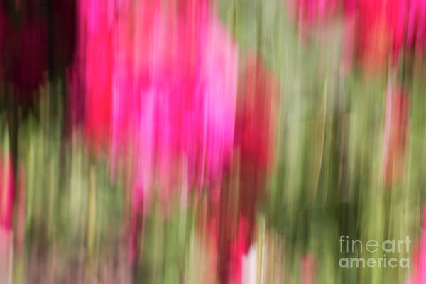 Photograph - Roses In Abstract by Juli Scalzi