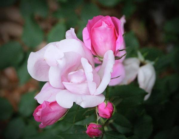 Photograph - Roses In Different Stages by Cynthia Guinn