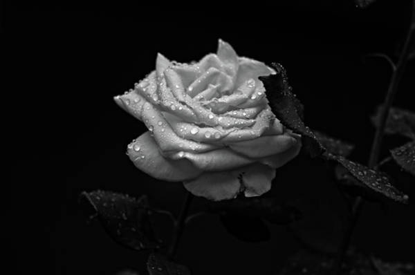Photograph - Roses In The Rain by Miguel Winterpacht