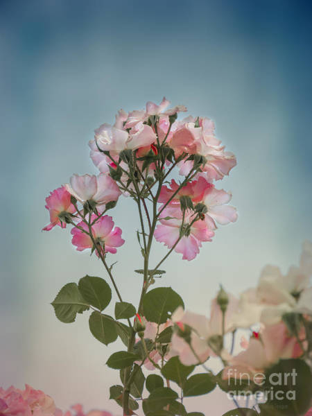 Photograph - Roses In The Sky by Elaine Teague
