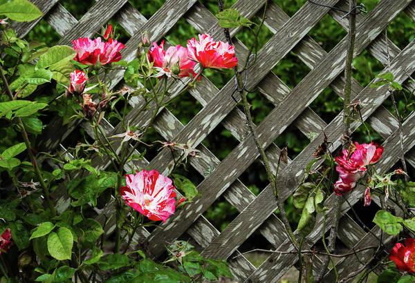 Photograph - Roses On Lattice by Bonnie Follett
