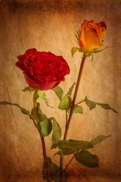 Photograph - Roses Two Ways by Garvin Hunter