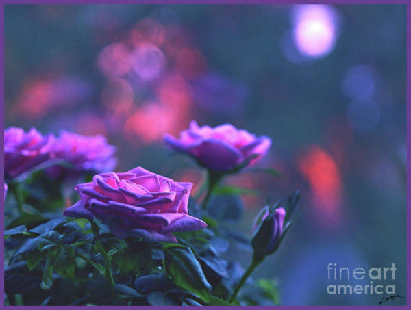 Photograph - Roses With Evening Tint by Lance Sheridan-Peel