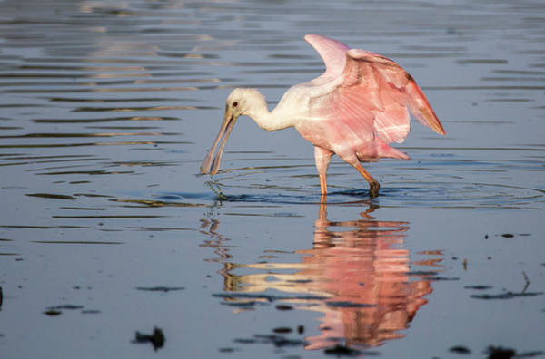 Wall Art - Photograph - Rosette Spoonbill by Stephanie McDowell