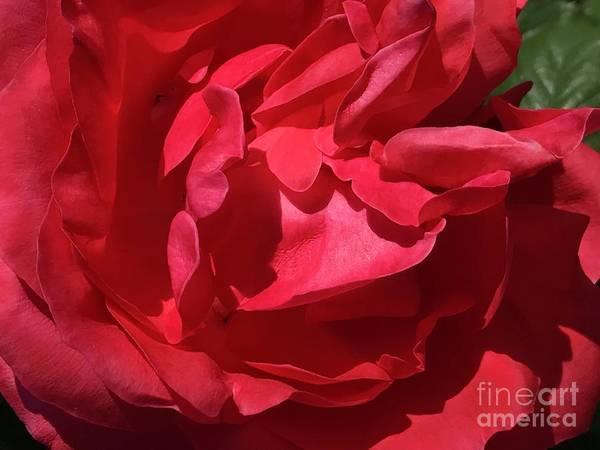 Photograph -  Rosey Day by Susan Carella