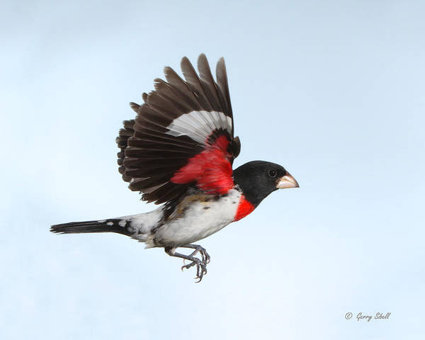 Photograph - Rosie The Grosbeak by Gerry Sibell