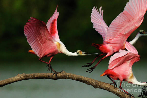 Wall Art - Photograph - Rosiette Spoonbills Lord Of The Branch by Bob Christopher