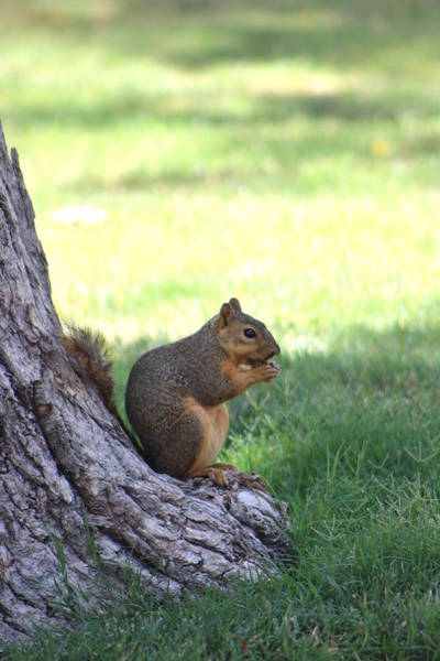 Photograph - Roswell Squirrel by Colleen Cornelius