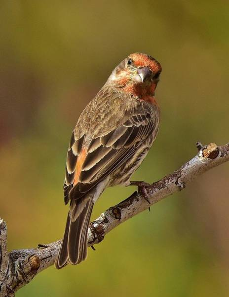 House Finch Wall Art - Photograph - Rosy Finch Posing I by Linda Brody
