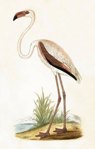 Pink Flamingo Wall Art - Painting - Rosy Flamingo by English School