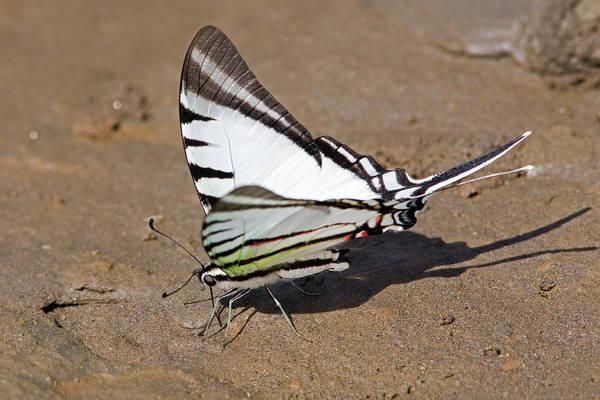 Photograph - Rothschild Swordtail Eating Minerals by Aivar Mikko