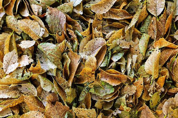 Photograph - Rotting Leaves by Fabrizio Troiani