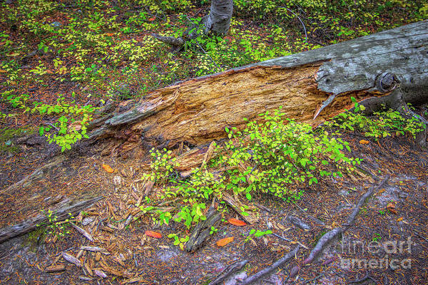 Photograph - Rotting Log by Jon Burch Photography