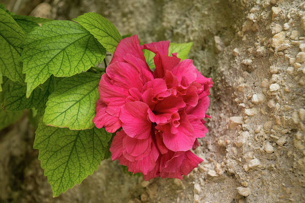 Photograph - Rough And Soft - Satiny Pink Hibiscus Against Coarse Stony Cliff by Georgia Mizuleva