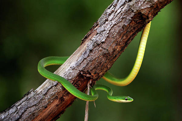Photograph - Rough Green Snake by JC Findley