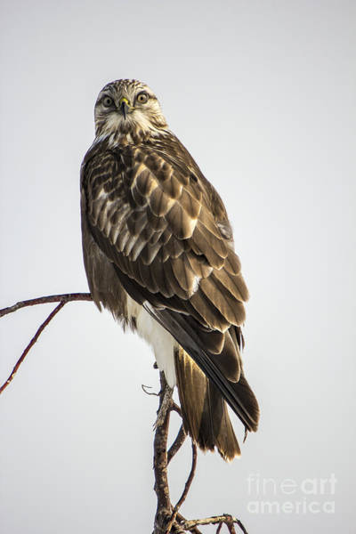 Photograph - Rough Legged Hawk by Spencer Baugh