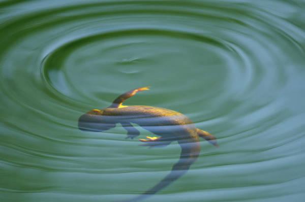 Photograph - Rough Skinned Newt by Andrew Kumler
