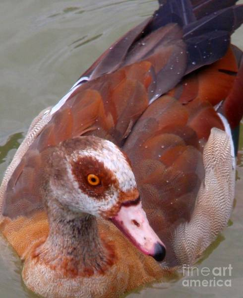 Water Birds Wall Art - Photograph - Round Red Eyes by Valia Bradshaw