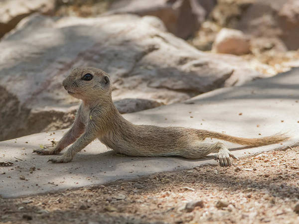 Photograph - Round-tailed Ground Squirrel 1995 by Tam Ryan