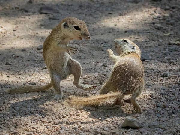 Photograph - Round-tailed Ground Squirrel Ninja 1741 by Tam Ryan