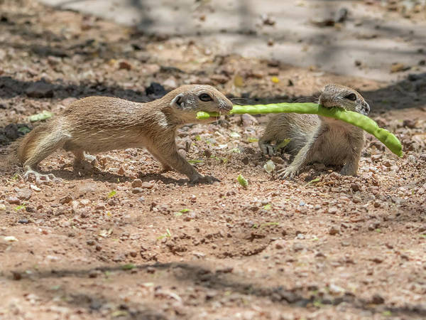 Photograph - Round-tailed Ground Squirrel Tug Of War by Tam Ryan