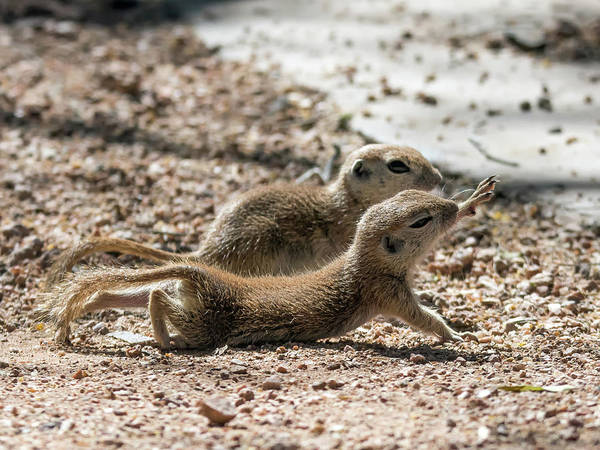 Photograph - Round-tailed Ground Squirrels  0198-051917-cr by Tam Ryan