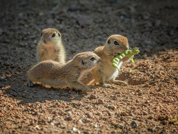 Photograph - Round-tailed Ground Squirrels 1198 by Tam Ryan