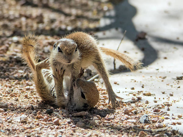 Photograph - Round-tailed Ground Squirrels Playing 0219 by Tam Ryan