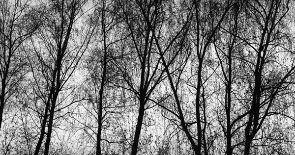 Photograph - Row Of Birch Trees In Silhouette In Bnw by John Williams