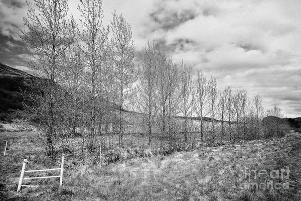 Wall Art - Photograph - row of trees planted as a windbreak for a greenhouse in remote region of Iceland by Joe Fox