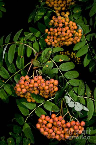 Rowan Photograph - Rowan Berries In Spain by Dr. Antoni Agelet