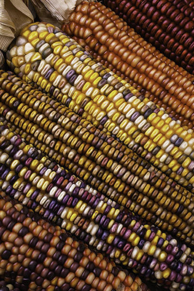 Indian Corn Photograph - Rows Of Indian Corn by Garry Gay