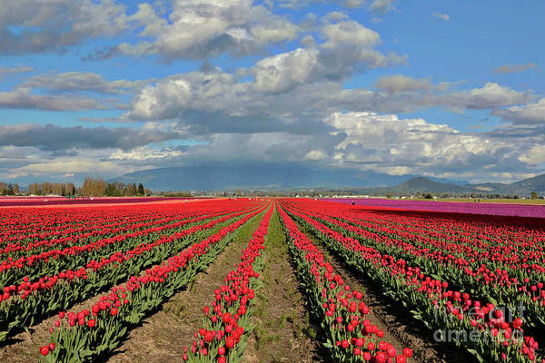 Photograph - Rows Of Red Tulips In Skagit Valley by Carol Groenen